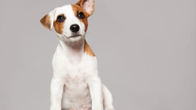 Será que os cães conseguem entender aquilo que diz?