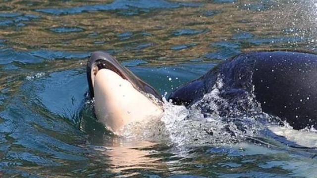 Ao fim de 17 dias de luto orca deixou partir corpo de cria morta