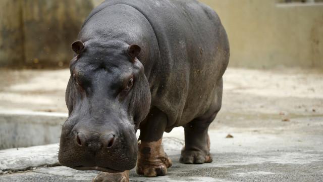 Palmada a hipopótamo em zoo de Los Angeles vira caso de polícia