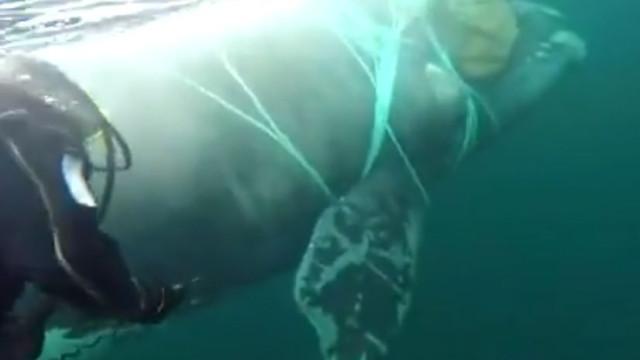 Marinha chilena resgata baleia presa em rede de pesca