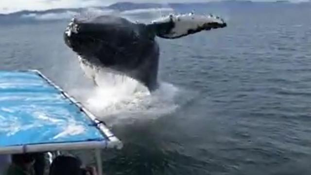 Baleia quase 'aterra' em cima de um barco nos EUA