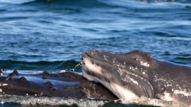 Golfinhos protegem baleia e cria atacadas no mar na Austrália