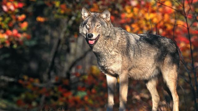 Gostaria de adotar um lobo? Agora é possível