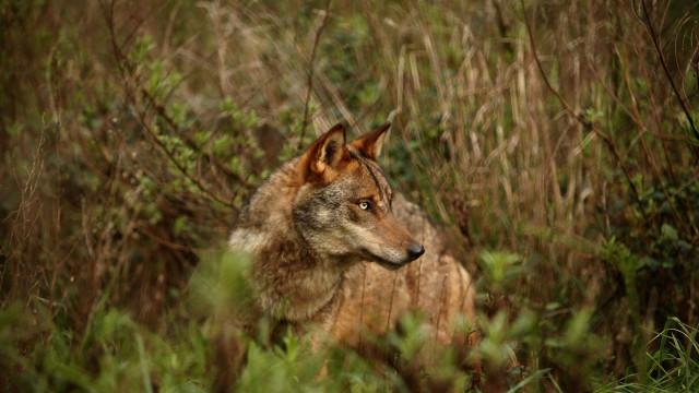 Estudo revela que lobos ibéricos não abandonam a região onde nasceram