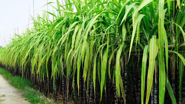Pela primeira vez, Moçambique vai produzir açúcar branco