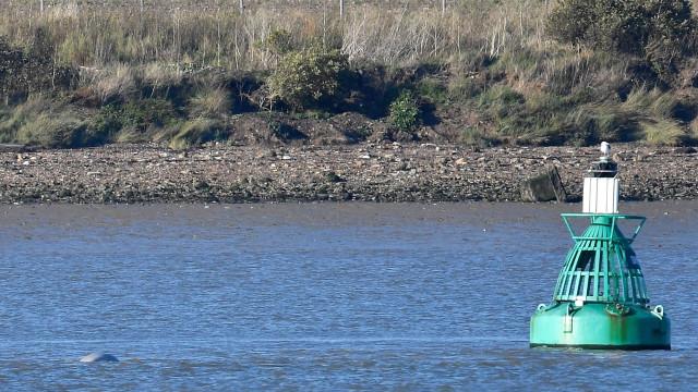 Baleia beluga vista no rio Tamisa a 50 quilómetros de Londres