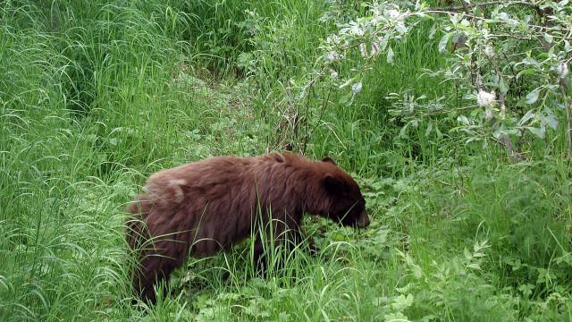 Ursos atacam e matam jovem de 18 anos no Alasca