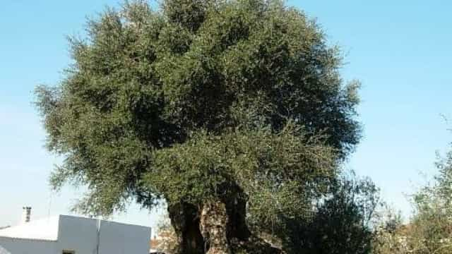 Investigadores dataram oliveira com 3.350 anos como a mais velha do país