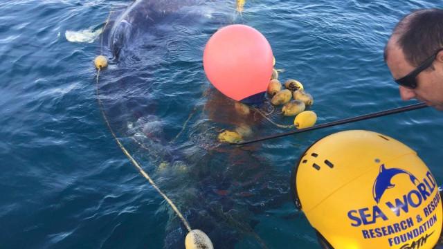 O momento em que baleia bebé é libertada de rede para apanhar tubarões