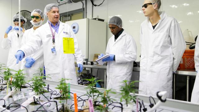 Com a legalização, alunos aprendem a plantar canábis no Canadá