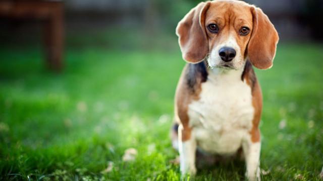 Mais de 70 beagles resgatados de casa na Pensilvânia