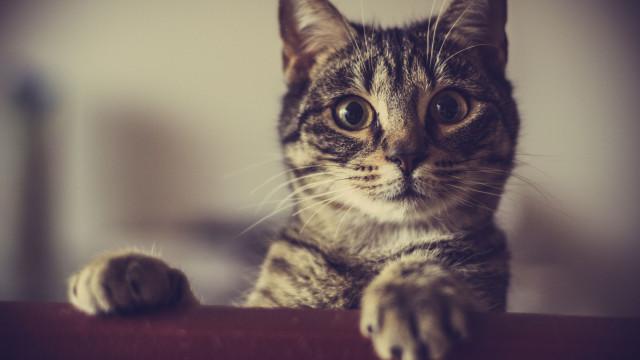 Se o seu gato desapareceu, estes passos podem ajudar a encontrá-lo