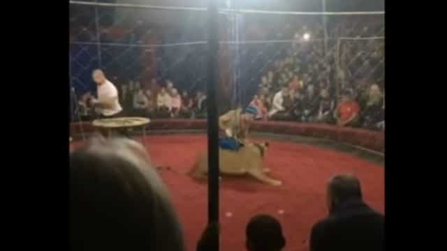 Leoa ataca menina durante espetáculo de circo na Rússia