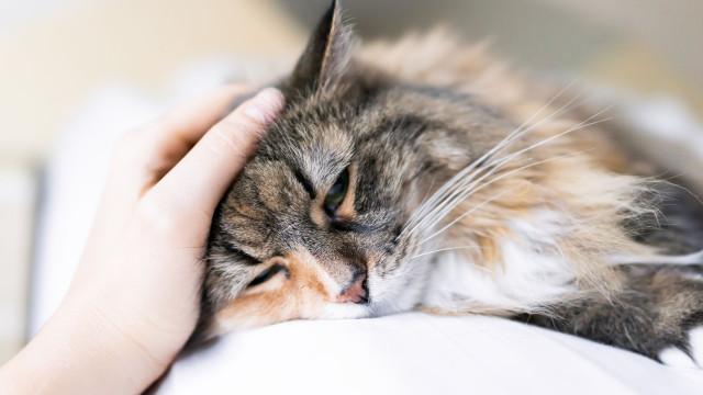 Sim, o seu gato pode ter cancro e há quimioterapia específica para o caso