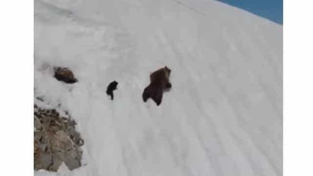 A escalada de um urso bebé ao encontro da sua mãe que já se tornou viral