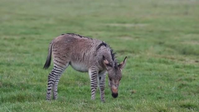 Diga 'olá' ao segundo burro-zebra do Reino Unido, o Zippy