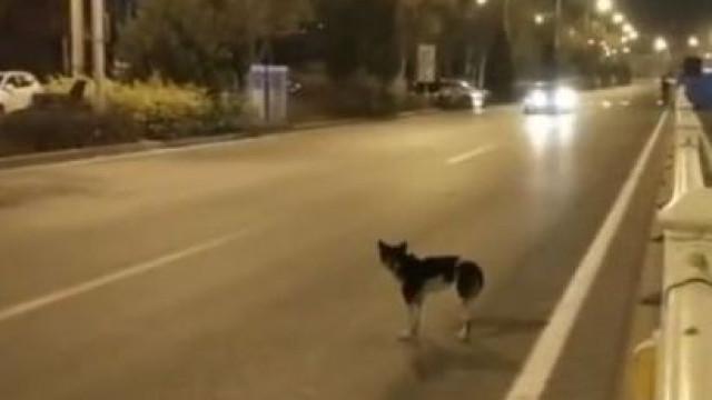 Cão espera quase três meses na estrada em que a dona morreu na China