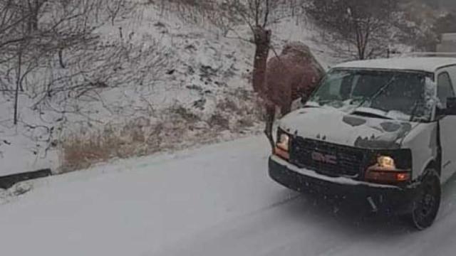 Camelo aparece junto a condutores durante nevão nos EUA