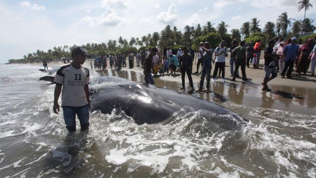 Cachalote encontrado morto na Indonésia com 6kg de plástico no estômago