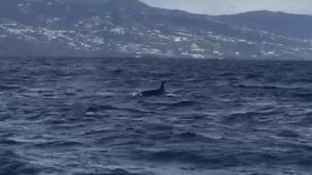 Orcas avistadas junto à costa da Madeira