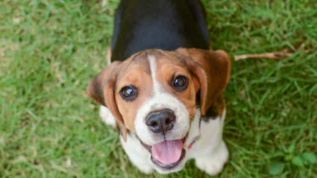 ANIMAIS AVENTUREIROS: Simão, o beagle lisboeta