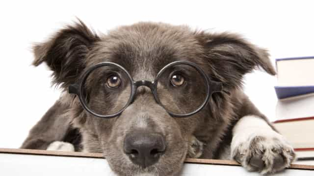 Afinal, os cães são mais inteligentes do que outros animais?