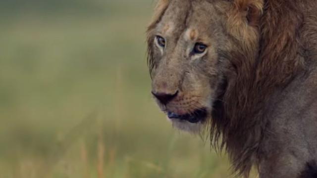 O 'Rei Leão' da vida real. Animal salva amigo de 20 hienas