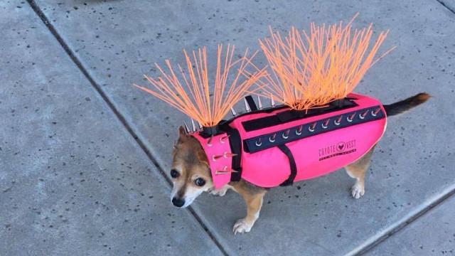 Beanie, a cadela que não quer ser comida por coiotes e outros animais