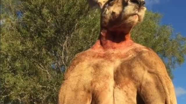 Morreu Roger, o canguru que punha Schwarzenegger a um canto