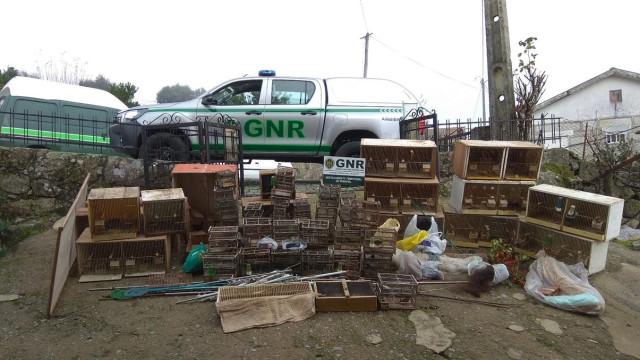 Detidos pela GNR por captura e venda ilegal de aves