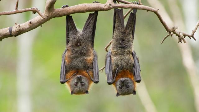 Morcegos podem ser controlo eficaz e natural de pragas