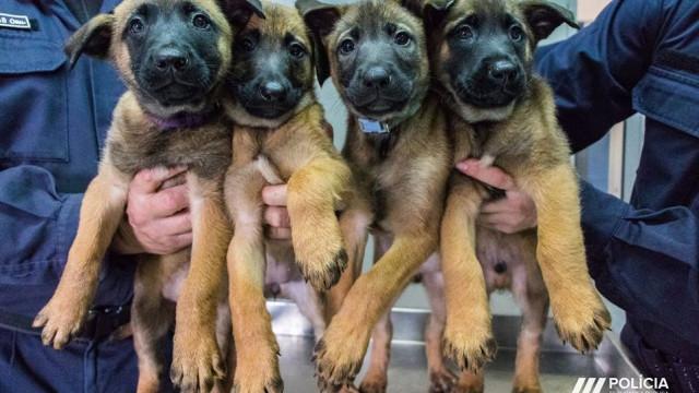 """PSP pede ajuda para dar nomes a estes """"cachorros policiais"""""""