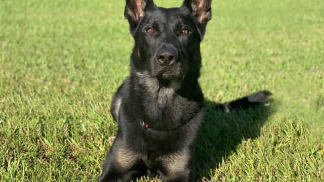 Cão polícia morre baleado na véspera de Natal mas salva vida dos agentes