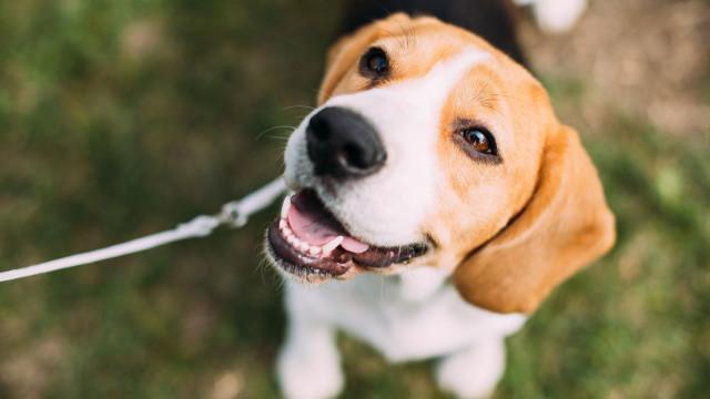 Cães com esta caraterística podem morrer 2,5 anos mais cedo, diz estudo