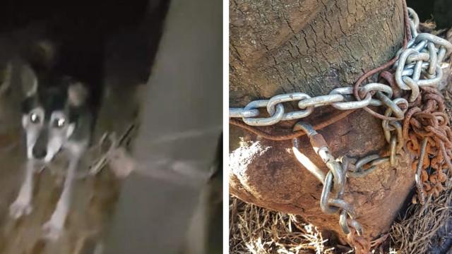 Cães estavam acorrentados, sem água e sem comida. Associação salvou-os