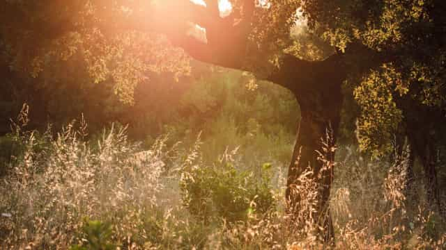 Seia planta 500 sobreiros e medronheiros em área ardida em 2017