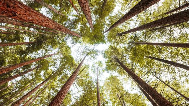Árvore centenária na Vista Alegre classificada de interesse público