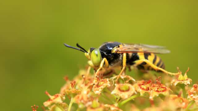 Aumentou número de casos de vespa asiática detetadados em Estarreja