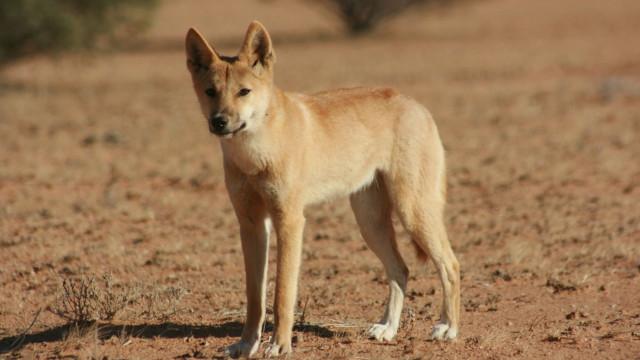 Grupo de dingos ataca criança de seis anos numa praia da Austrália