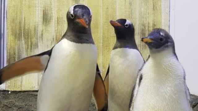 Casal de pinguins homossexual de Sidney já sabe o sexo da sua cria