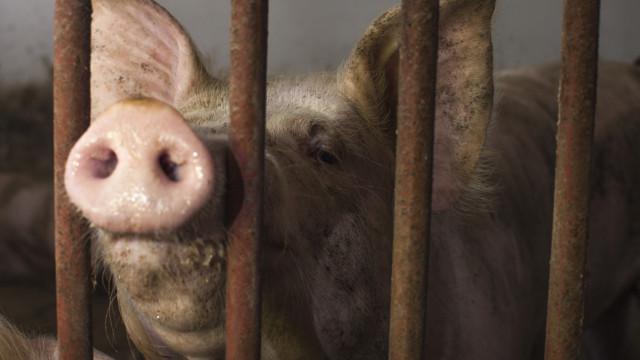 Venda de porcos para a China avança hoje e deve atingir 100 milhões
