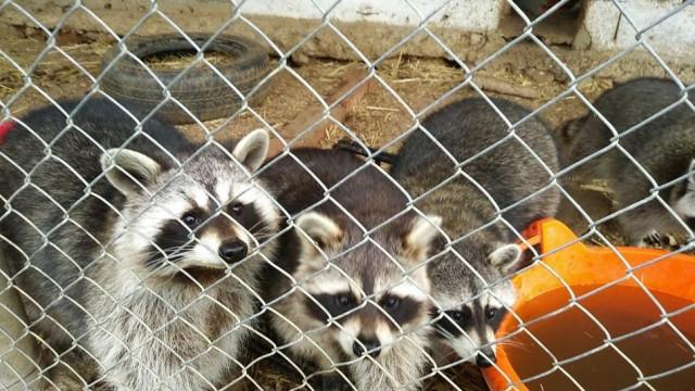 GNR apreende 36 animais exóticos em Castelo Branco