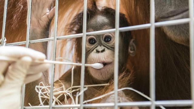 Quem é o pai do orangotango? Teste de paternidade surpreende na Suíça