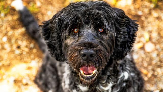 """Cães de raças portuguesas não estão na moda e atravessam """"crise"""""""