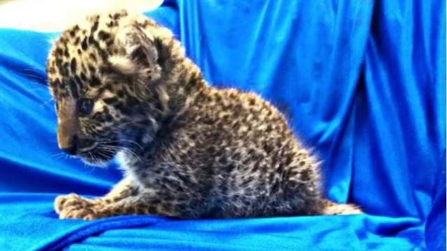 Cria de leopardo encontrada dentro de bagagem em aeroporto indiano
