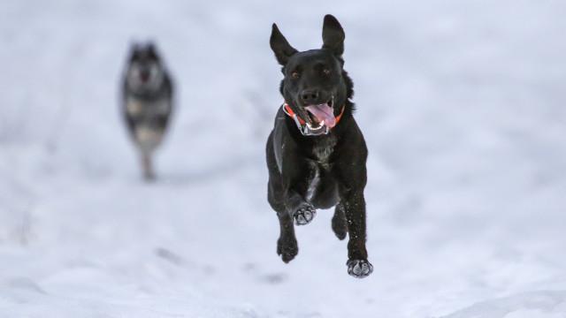 Estes cães não têm problemas com o frio