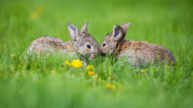 PAN quer saber quantos coelhos bravos (e não só) vivem no país