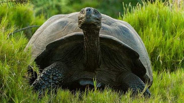Tartaruga gigante extinta há mais de 100 anos encontrada nas Galápagos
