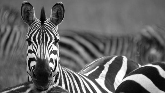 Por que razão as zebras têm riscas? Talvez por causa dos insetos