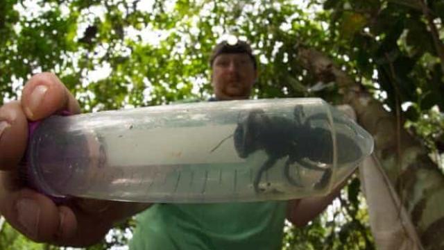 Desaparecida há 38 anos, maior abelha do mundo encontrada na Indonésia